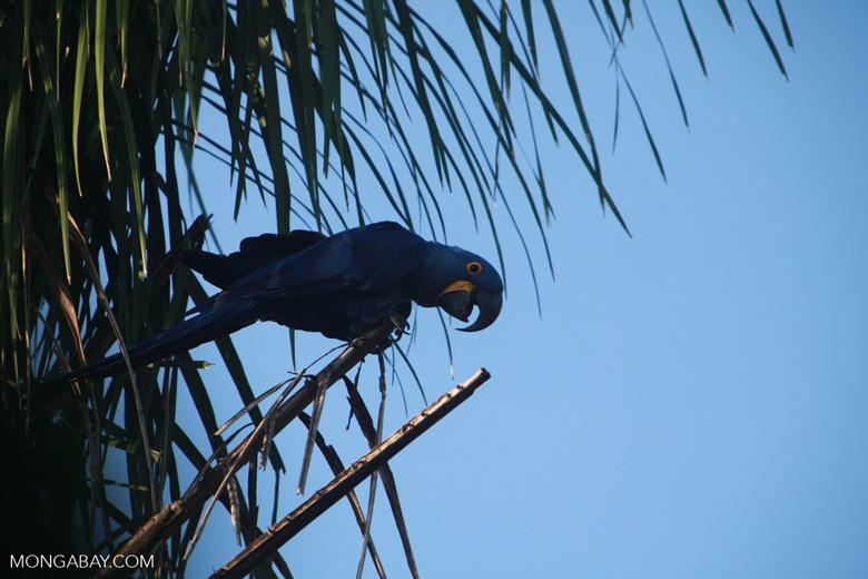 Hyacinth Macaw (Anodorhynchus hyacinthinus) [brazil_1662]