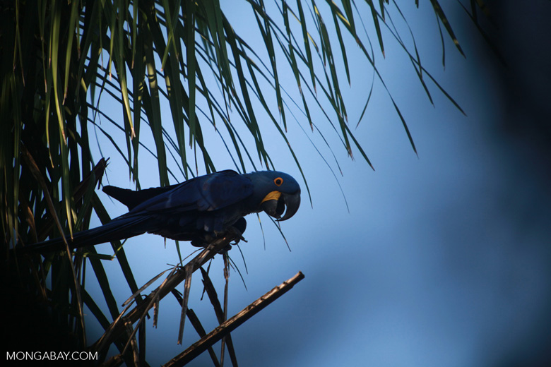 Hyacinth Macaw (Anodorhynchus hyacinthinus) [brazil_1663]