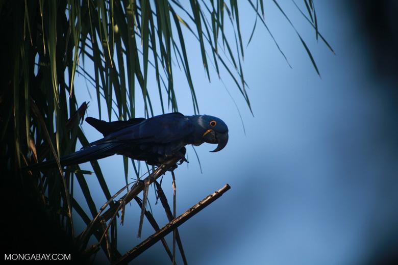 Hyacinth Macaw (Anodorhynchus hyacinthinus) [brazil_1664]