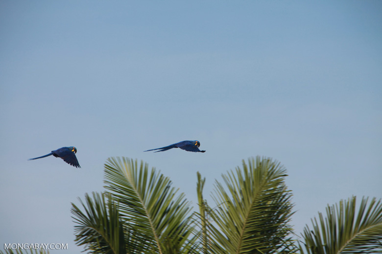 Hyacinth Macaws (Anodorhynchus hyacinthinus) in flight [brazil_1666]