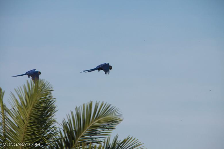 Hyacinth Macaws (Anodorhynchus hyacinthinus) in flight [brazil_1667]