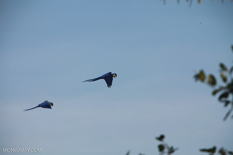Hyacinth Macaws (Anodorhynchus hyacinthinus) in flight [brazil_1668]