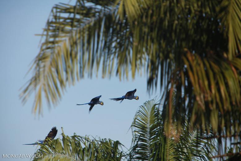 Hyacinth Macaws (Anodorhynchus hyacinthinus) in flight [brazil_1669]