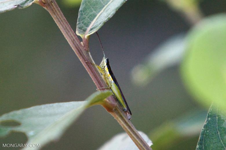 Black, yellow, and green grasshopper