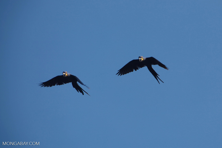 Hyacinth Macaws (Anodorhynchus hyacinthinus) in flight