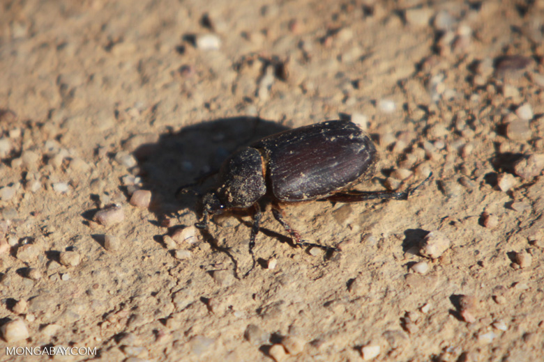 Brown Scarab, family Scarabaeidae