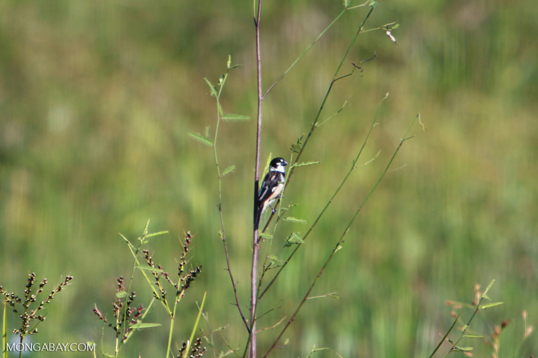Rusty-collared Seedeater (Sporophila collaris)