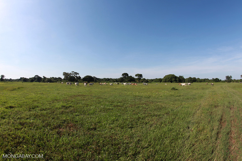 Cattle in the Pantanal