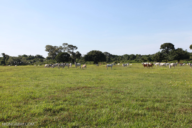 Cattle in the Pantanal [brazil_1697]