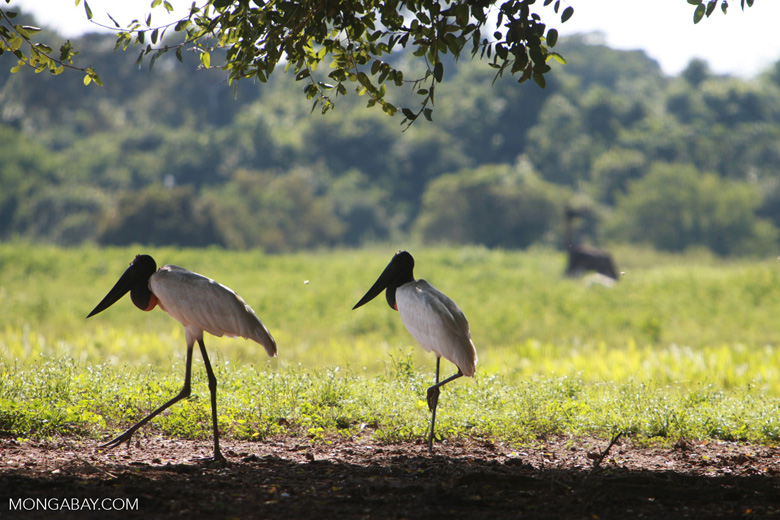 Pair of Jabiru stork