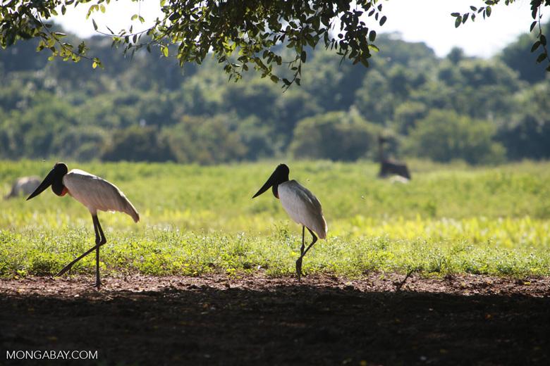 Pair of Jabiru stork [brazil_1699]