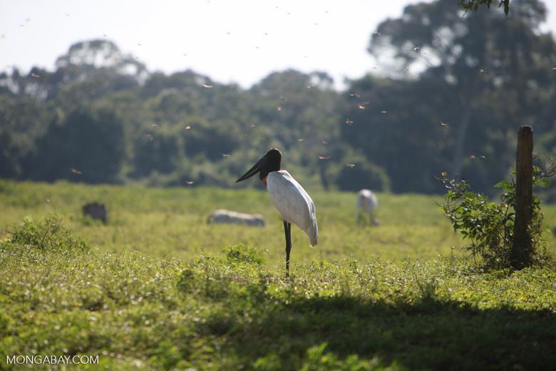 Jabiru stork [brazil_1700]