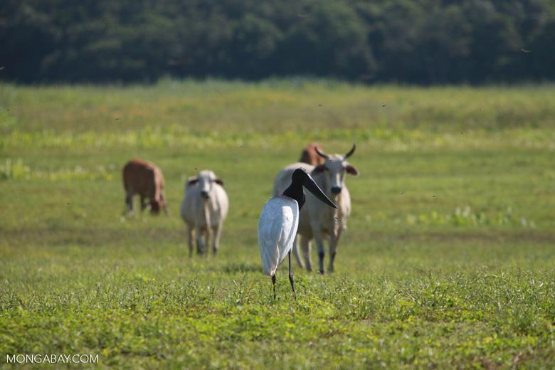 Jabiru stork [brazil_1701]