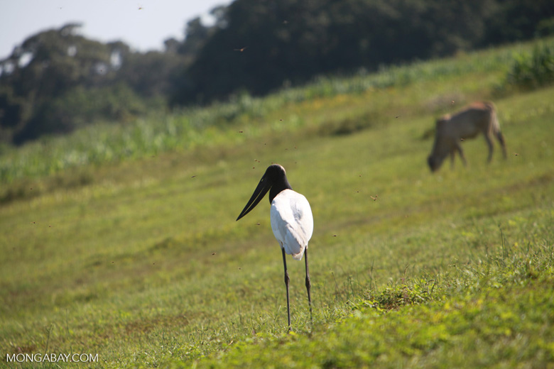Jabiru stork [brazil_1703]