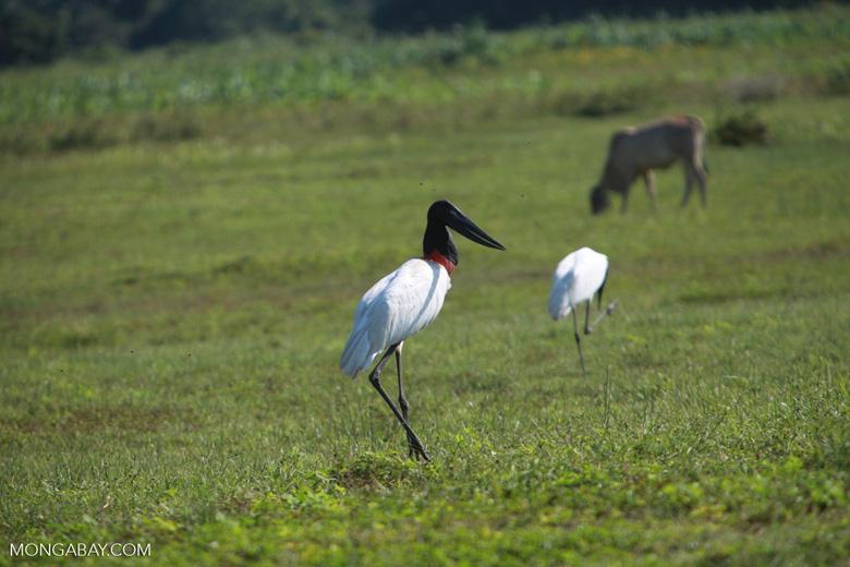 Jabiru stork [brazil_1705]