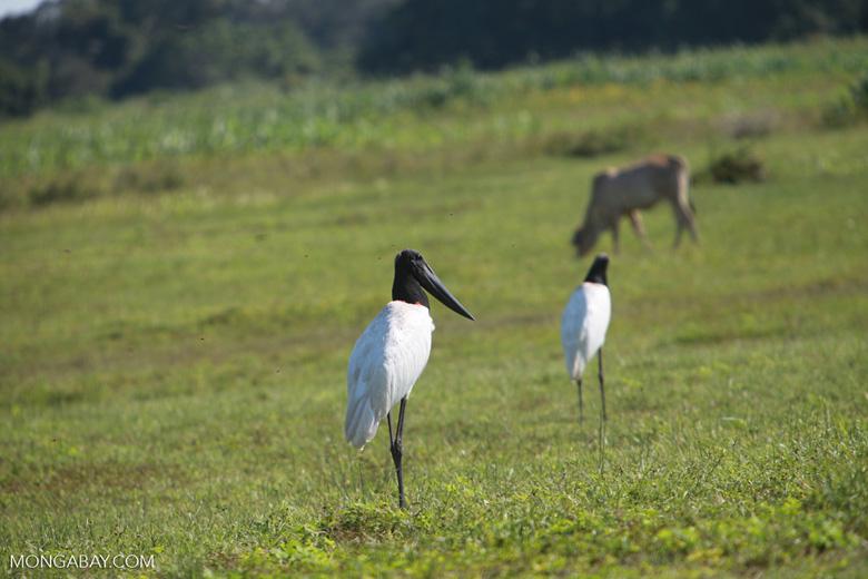 Jabiru stork [brazil_1707]