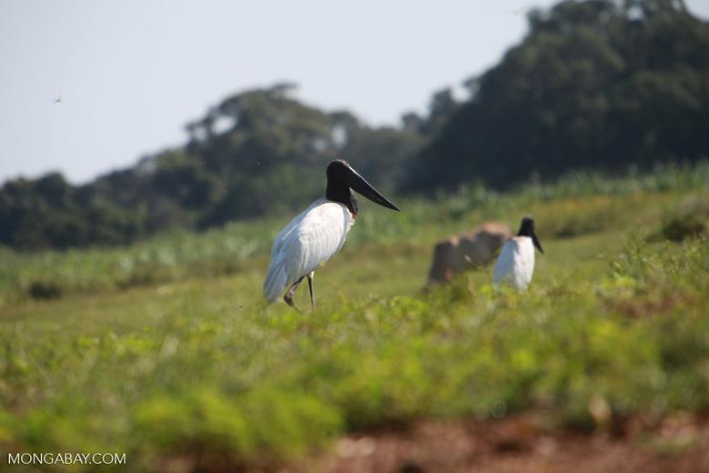 Jabiru stork [brazil_1708]