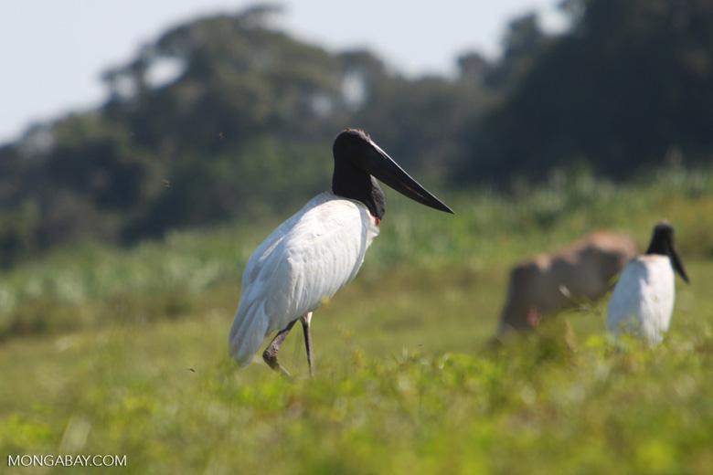 Jabiru stork [brazil_1709]