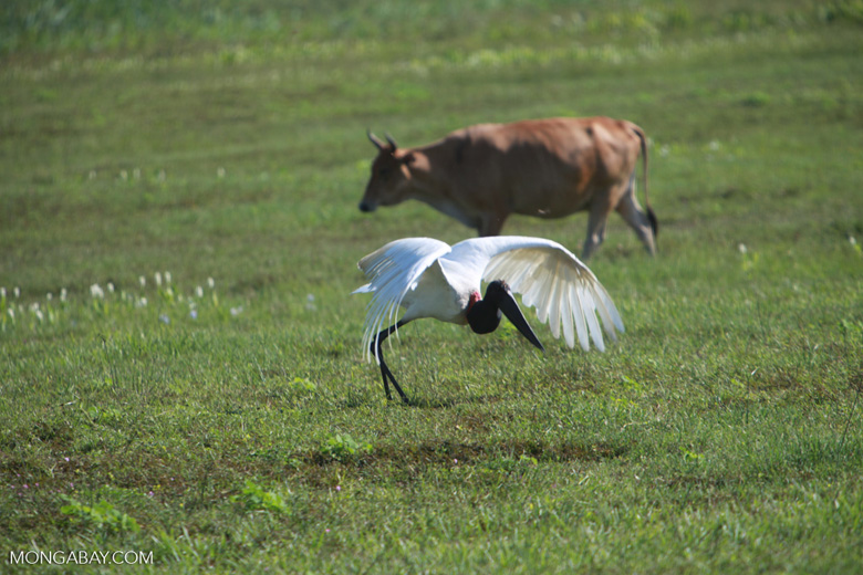 Jabiru stork taking flight [brazil_1718]
