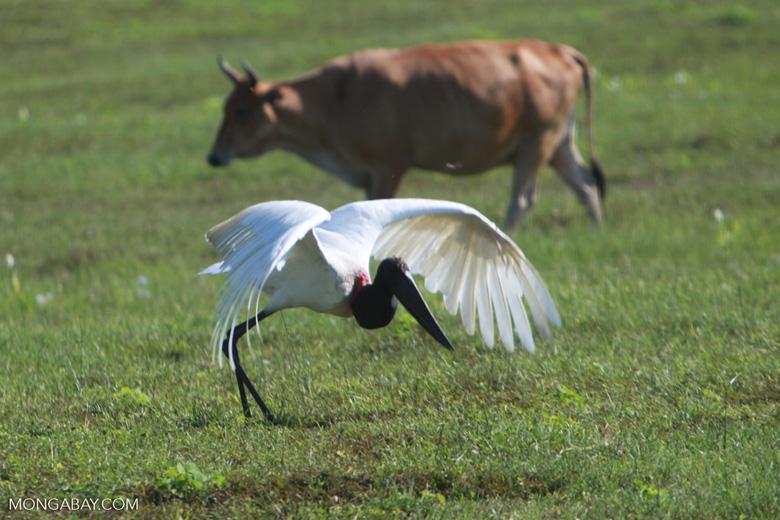 Jabiru stork taking flight [brazil_1719]