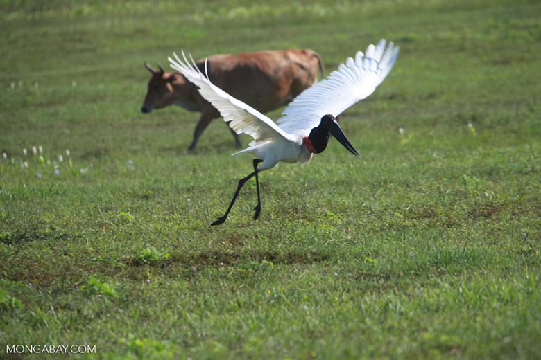 Jabiru stork taking flight [brazil_1720]