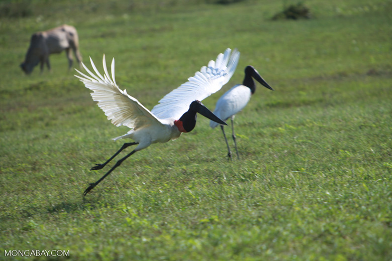 Jabiru stork taking flight [brazil_1724]