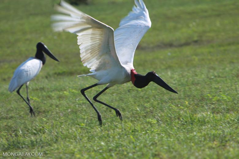 Jabiru stork taking flight [brazil_1725]