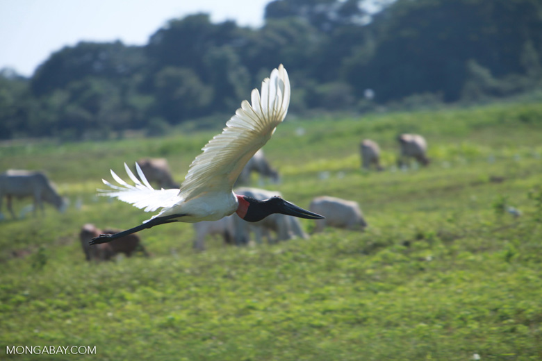 Jabiru stork in flight [brazil_1730]