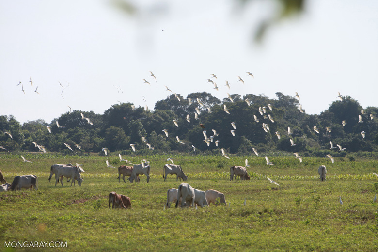 Cattle and birds [brazil_1734]