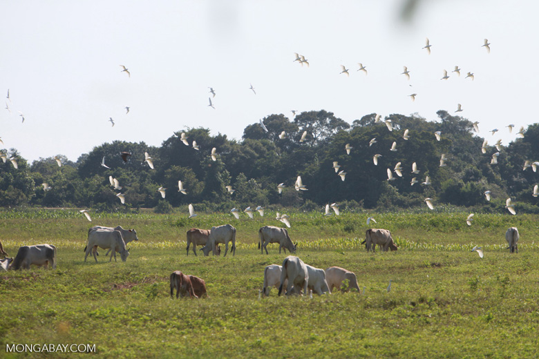 Cattle and birds [brazil_1736]