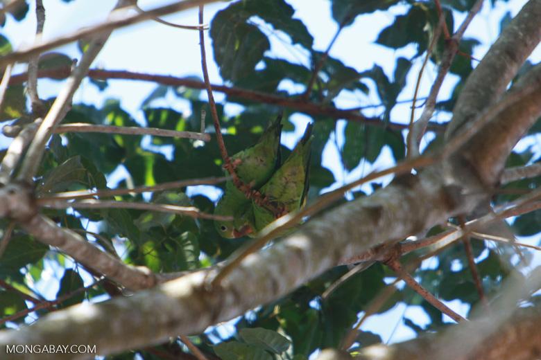 White-eyed Parakeet (Aratinga leucophthalmus)