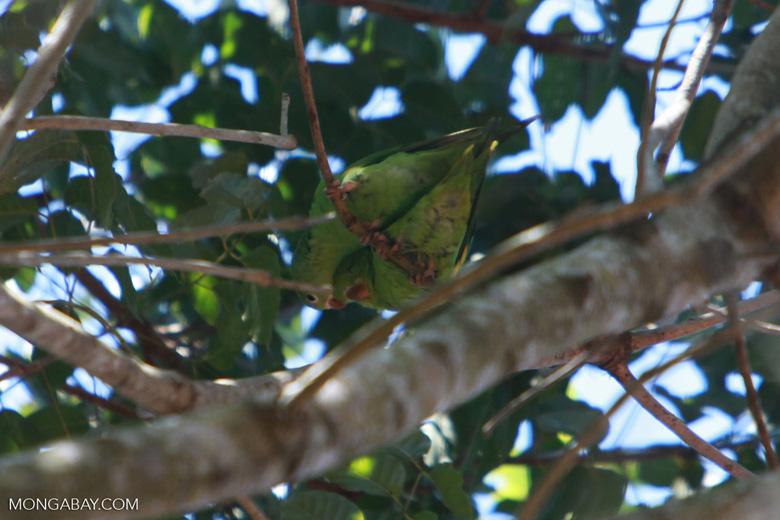White-eyed Parakeet (Aratinga leucophthalmus) [brazil_1742]