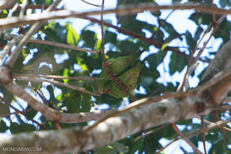 White-eyed Parakeet (Aratinga leucophthalmus) [brazil_1743]