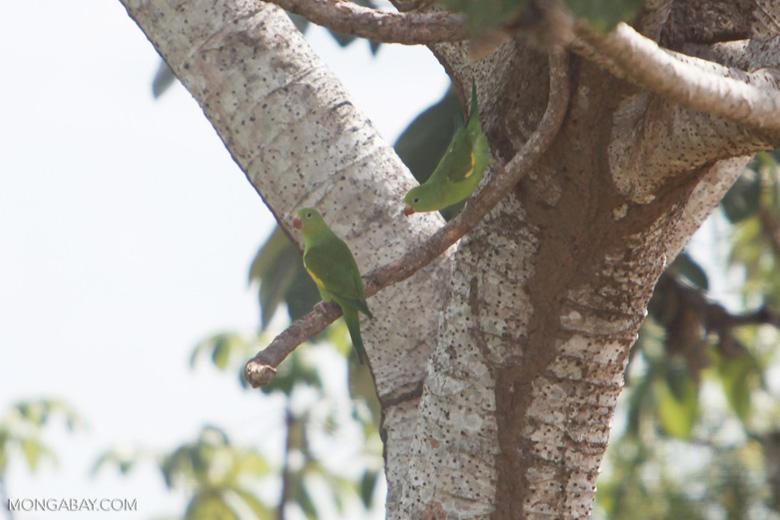 Yellow-chevroned Parakeets (Brotogeris chiriri) [brazil_1753]