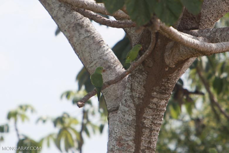 Yellow-chevroned Parakeets (Brotogeris chiriri) [brazil_1754]