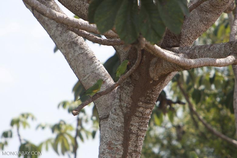 Yellow-chevroned Parakeets (Brotogeris chiriri) [brazil_1755]