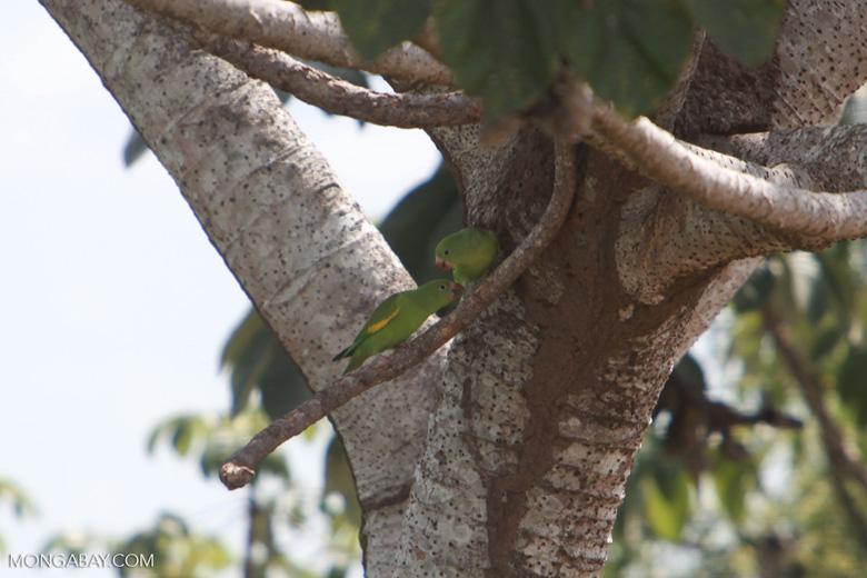 Yellow-chevroned Parakeets (Brotogeris chiriri) [brazil_1756]
