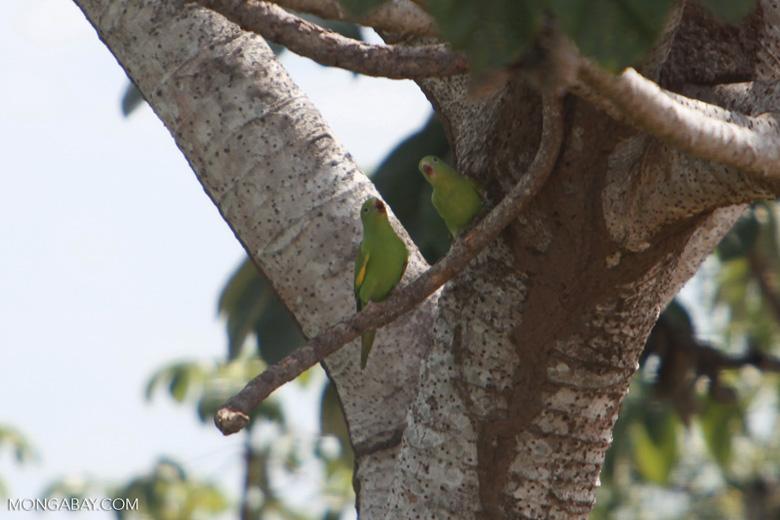 Yellow-chevroned Parakeets (Brotogeris chiriri) [brazil_1757]