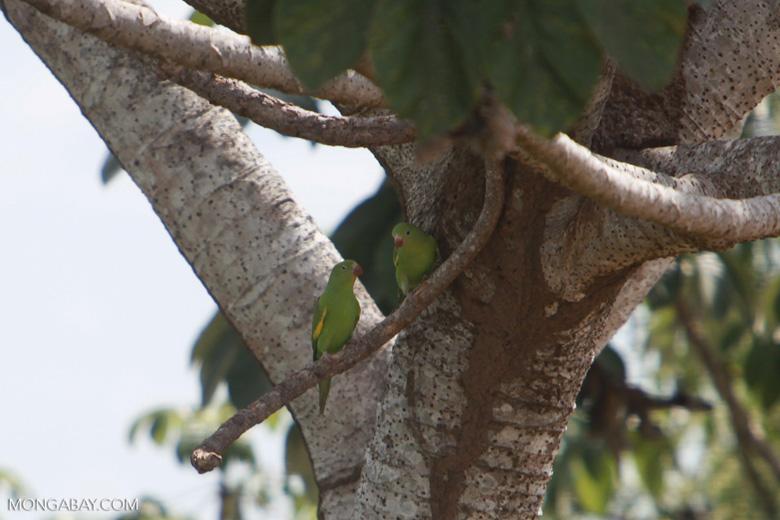 Yellow-chevroned Parakeets (Brotogeris chiriri) [brazil_1758]