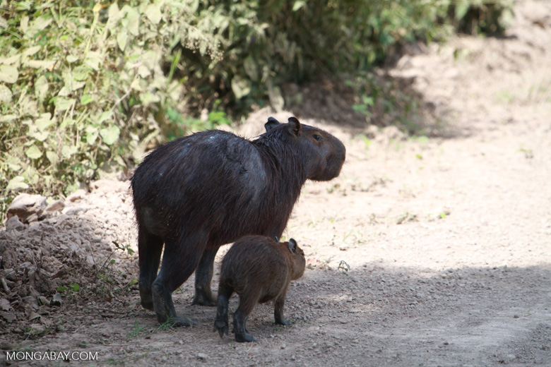 Mother capybara with baby [brazil_1763]