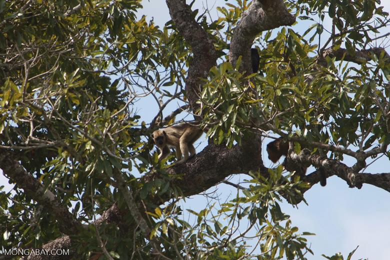 Female black Howler Monkey (Alouatta caraya)