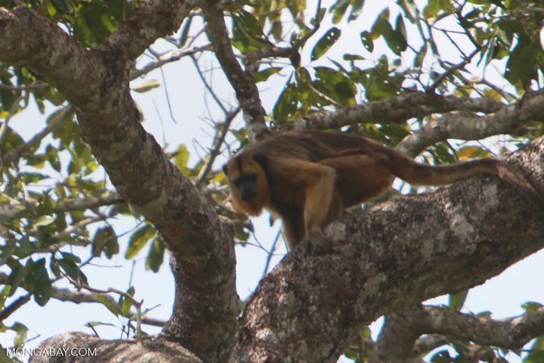 Female black Howler Monkey (Alouatta caraya) [brazil_1766]