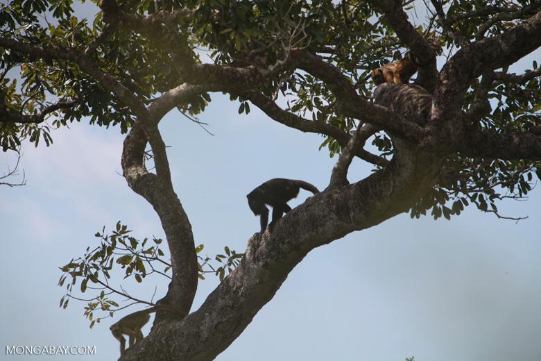 Black-and-gold howler monkey (Alouatta caraya)