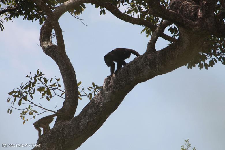 Black-and-gold howler monkey (Alouatta caraya) [brazil_1769]