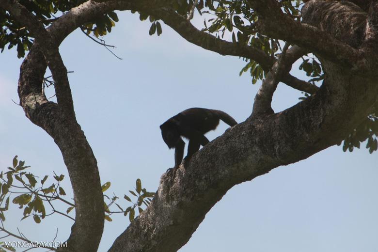 Black-and-gold howler monkey (Alouatta caraya) [brazil_1770]
