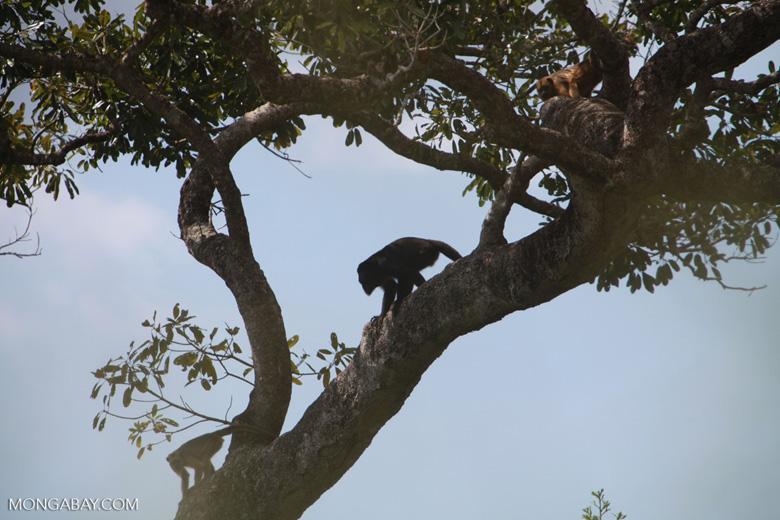 Black-and-gold howler monkey (Alouatta caraya) [brazil_1771]