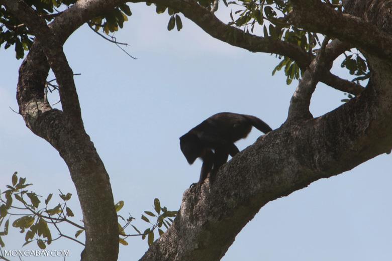 Black-and-gold howler monkey (Alouatta caraya) [brazil_1772]