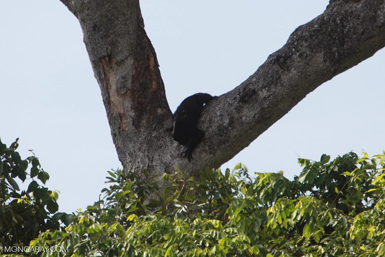 Black-and-gold howler monkey (Alouatta caraya) [brazil_1773]