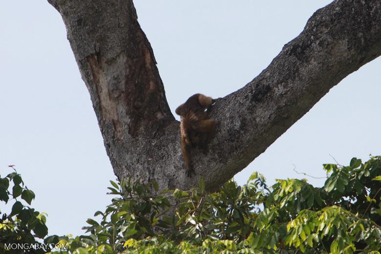 Black-and-gold howler monkey (Alouatta caraya) [brazil_1774]