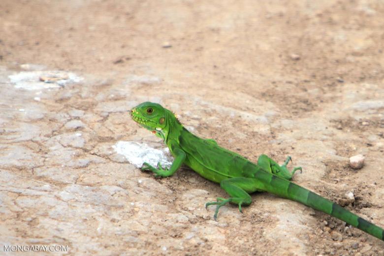 Common green iguana [brazil_1776]